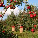 The Apple Orchard, Wisdom Stratum - Official Site of The Emergence